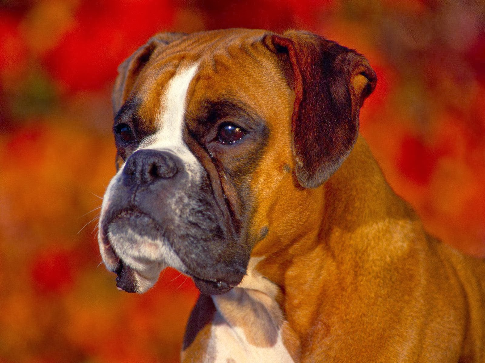 ANIMAL DO MÊS - BOXER