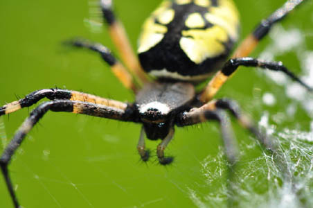 The life of animals may 2012 for Yellow garden spider poisonous