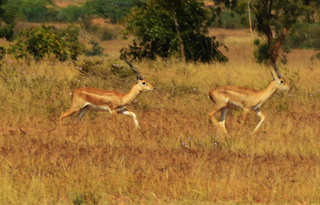 Jayamangali Blackbuck Reserve