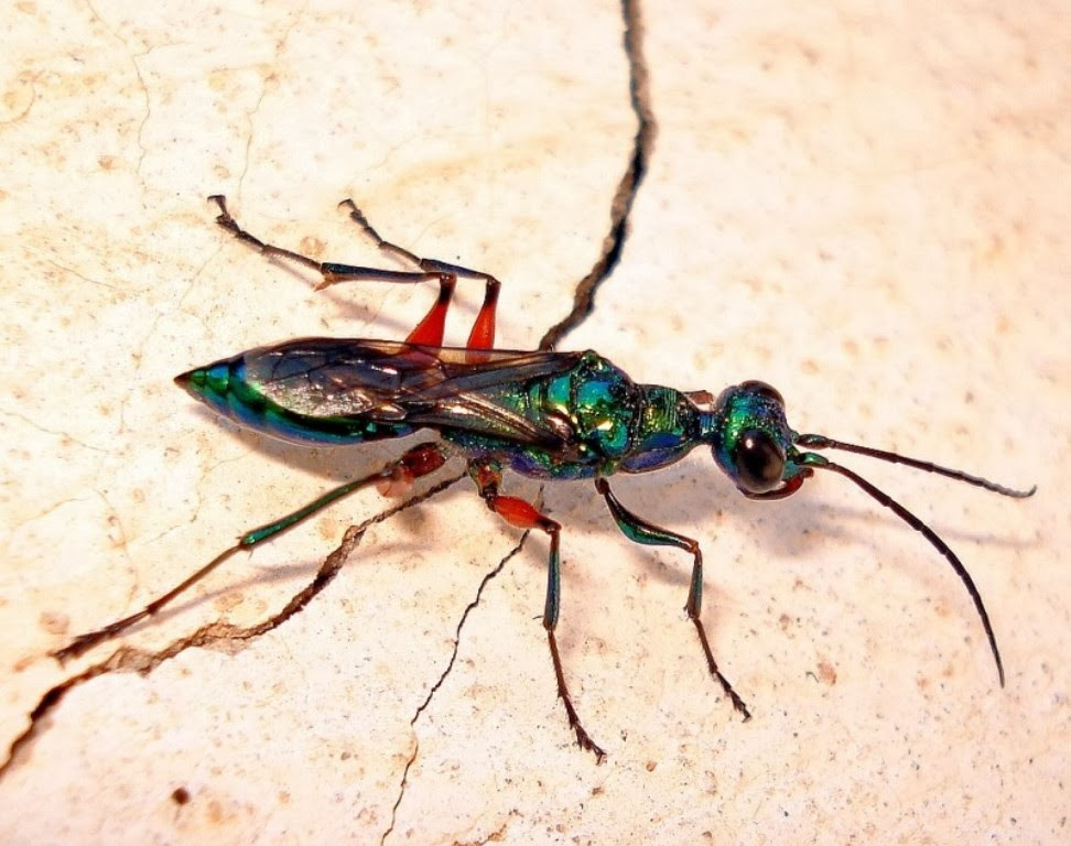 emerald wasp- beautiful insect