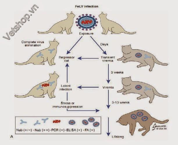 Hình 2: Sinh bệnh học của FeLV