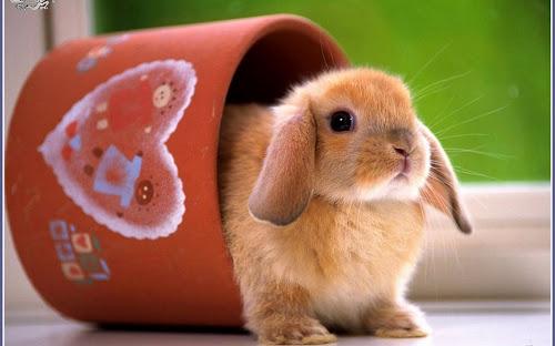 Gambar Kelinci Imut