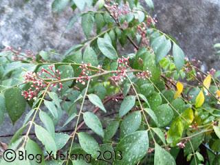 Blossoming_starfruit