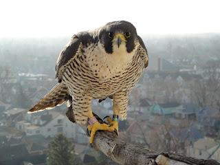 dangerous face close up of Falcon