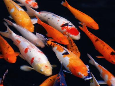 Cara memelihara dan merawat ikan koi berita indonesia for Koi 1 utama