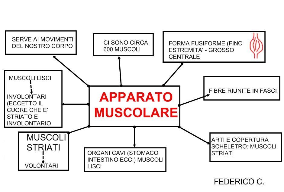 Schema muscoli scuola primaria