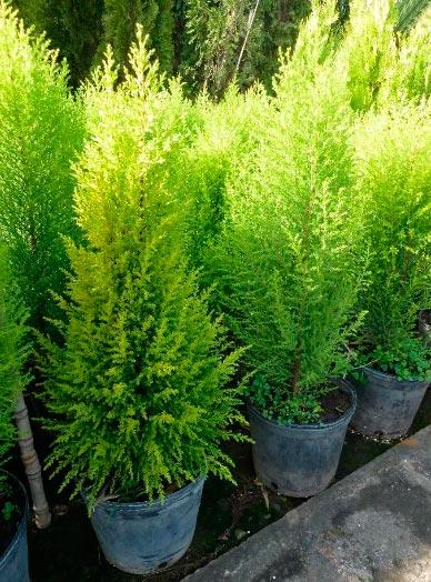 Cuidados del pino enano blog patricia l pez dise o floral for Variedades de pinos para jardin