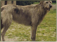 Irish Wolfhounds Dog Pictures