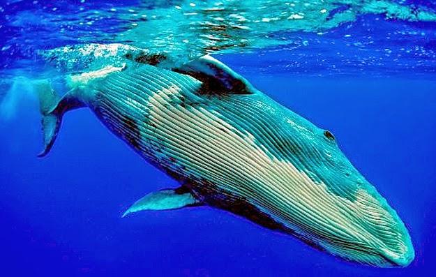 lengua de ballena azul pesa tanto como un elefante