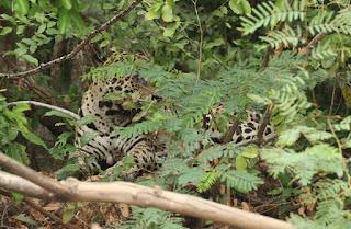 Panthera onca, Jaguar, Mick, Fabrice Schmitt