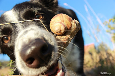 border collie bringing a snail on a stick