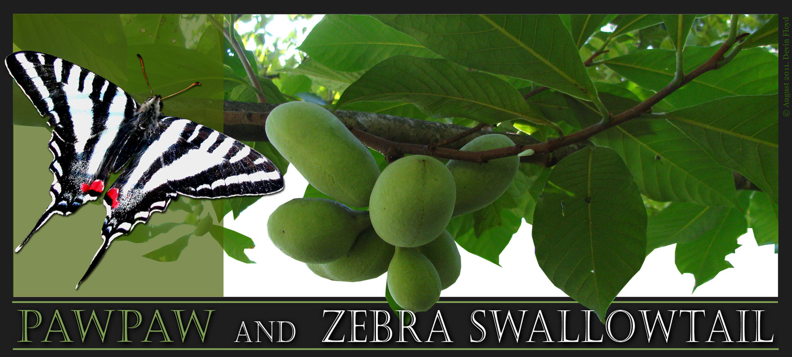 Asimina Triloba And Eurytides Marcellus