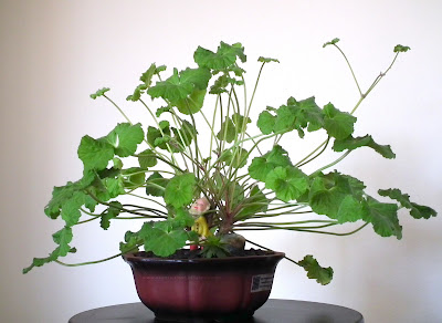 Apple scented-leaf Pelargonium Odoratissimum bonsai