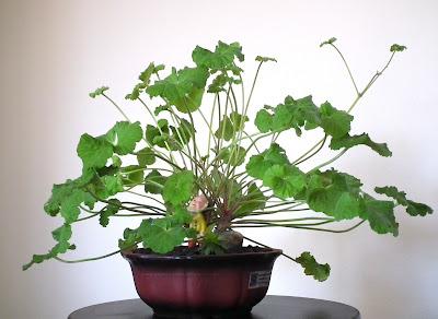 Apple scented-leaf Pelargonium Odoratissimum bonsai