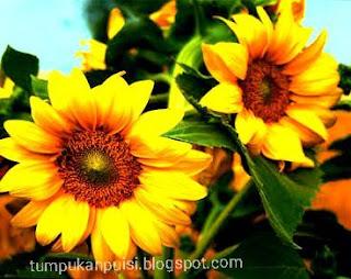 Puisi bunga matahari, gambar bunga matahari