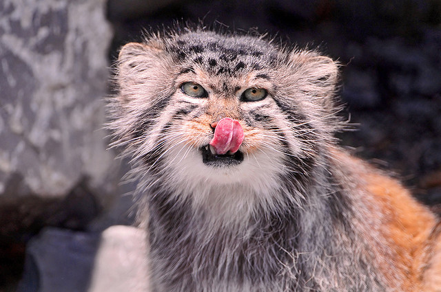 manul+cat+palluss+cat+pallus+4 - Nagpanilap - Photos Unlimited