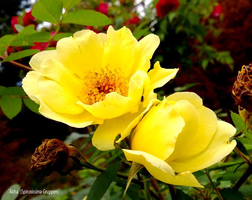 gula rosor vad betyder det