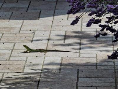 lagartija ©EvaGarcía