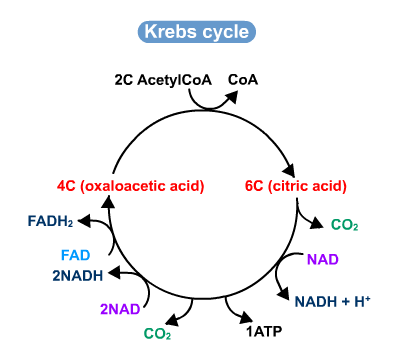 89 The Krebs Cycle Biology Notes For A Level