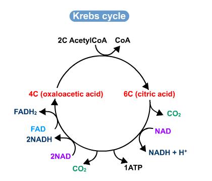 Krebs Cycle Diagram A Level Diy Wiring Diagrams