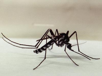 mosquito Haemagogus spp