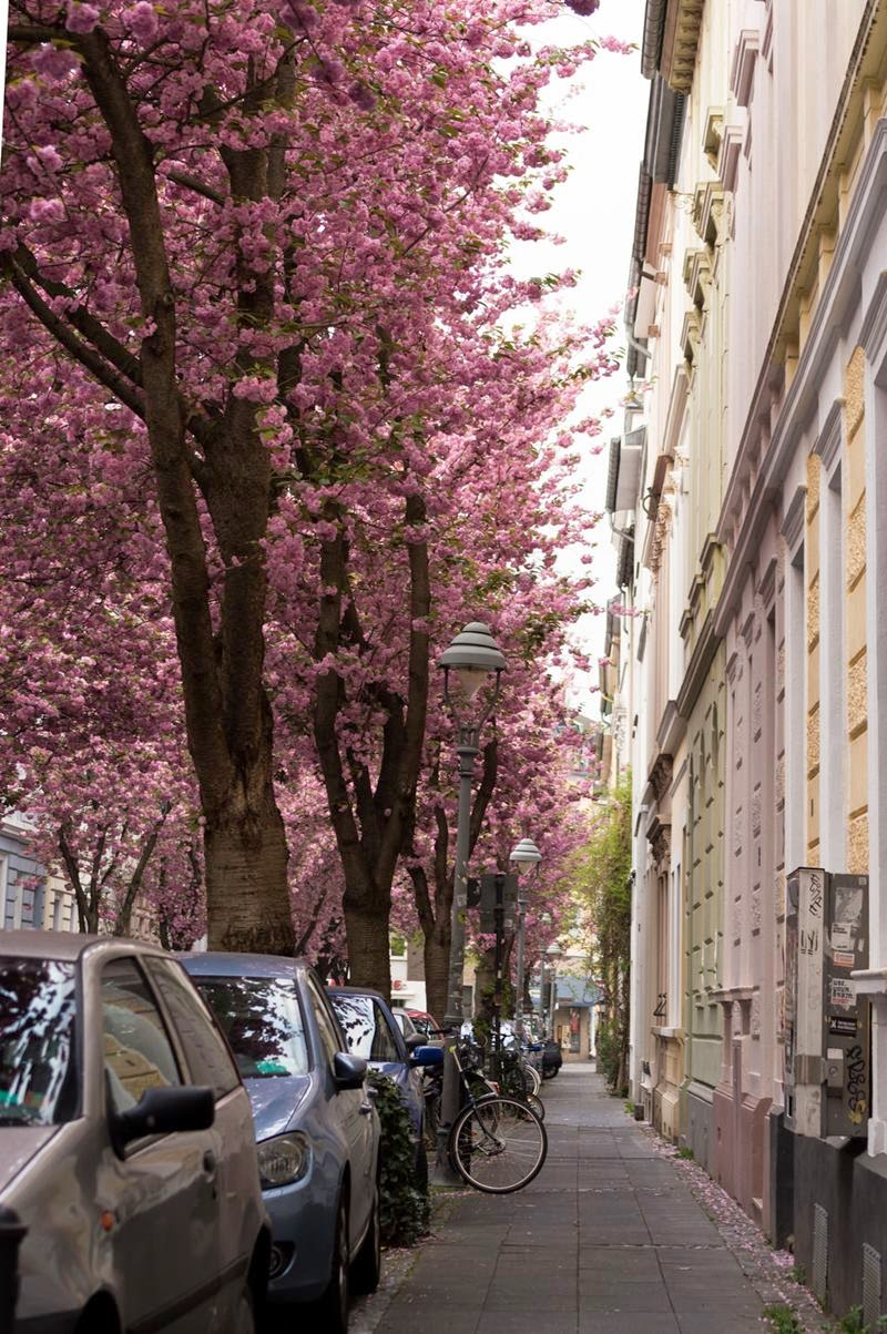 Sidewalk under the cherry trees, Bonn, Germany
