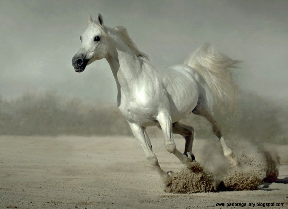 Horse White Best HD Wallpaper Android 849 Wallpaper computer