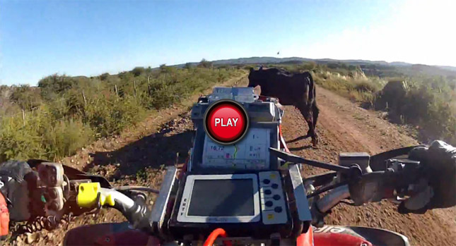 ATV-Versus-Cow