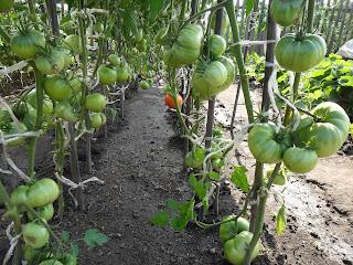 Грядка индетерминантных помидоров, все листья ниже завязей удалены