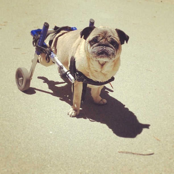 pug, dog wheelchair