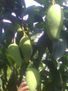 suplier bibit pohon majalengka