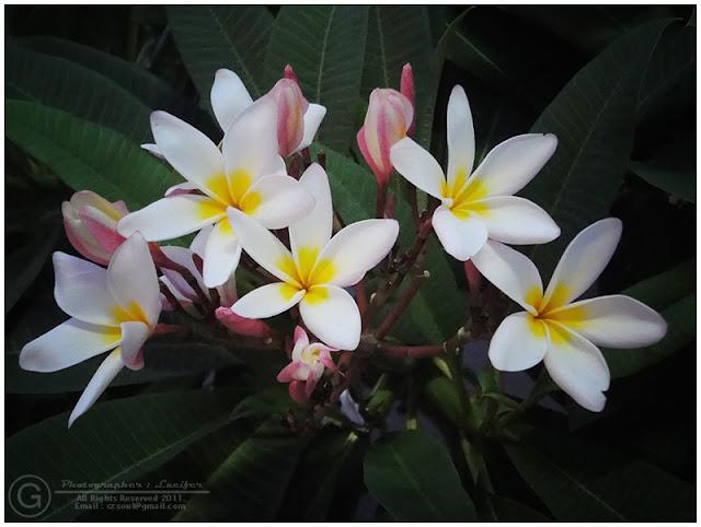 Photograph Flower Plumeria Frangipani