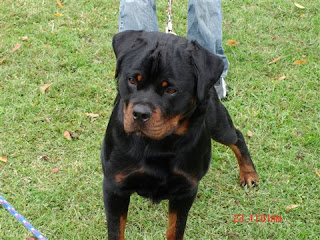What makes a rottweiler german ?
