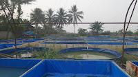 Peternakan Ikan Raja Cupang