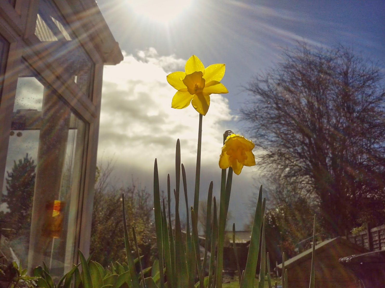 Project 365 day 82 - Spring daffodils // 76sunflowers