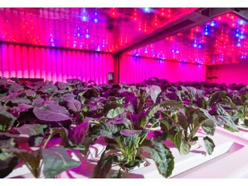 Pink LED lights powering agriculture in Japan