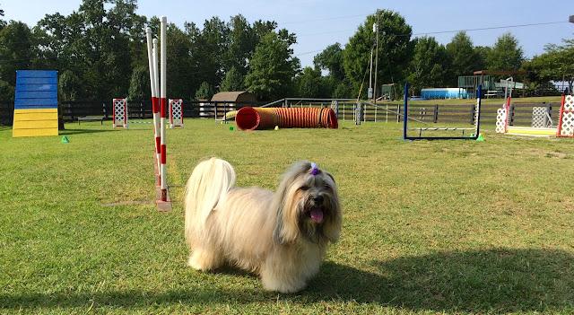 Rocco Havanese agility Canine Ranch