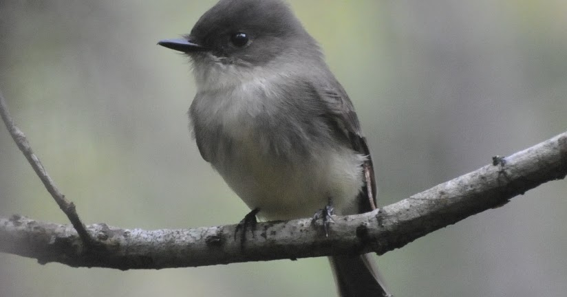Wild Birds Unlimited: Small, gray, short-bodied, long ...