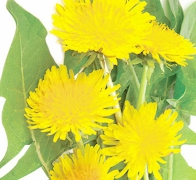 Plante utile pentru ficat