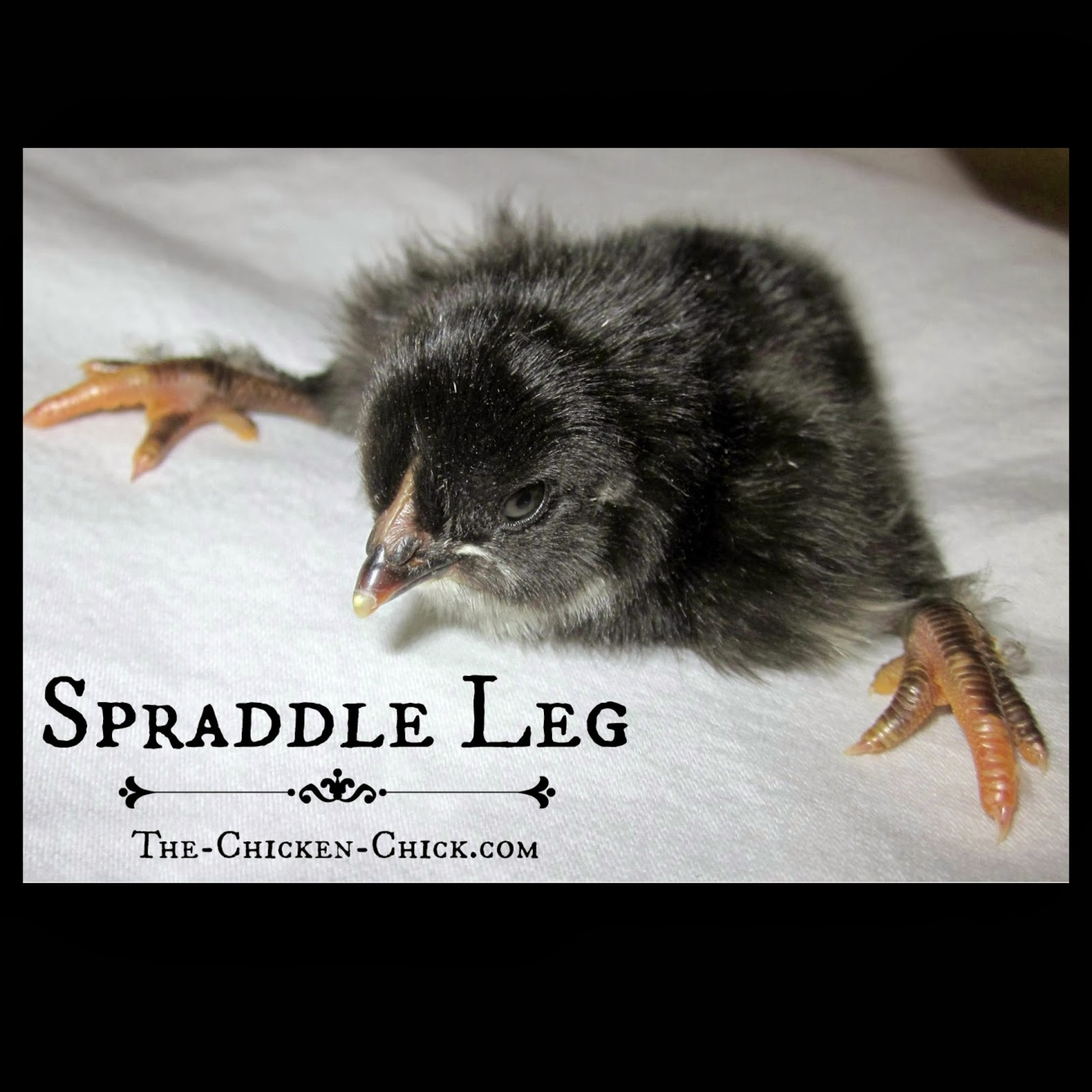 Spraddle Leg, Splayed Leg Causes & Treatment in Baby Chicks