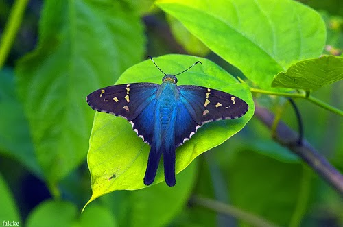 The most beautiful butterfly in the world (Urbanus proteus)