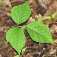 poison_ivy_leaf