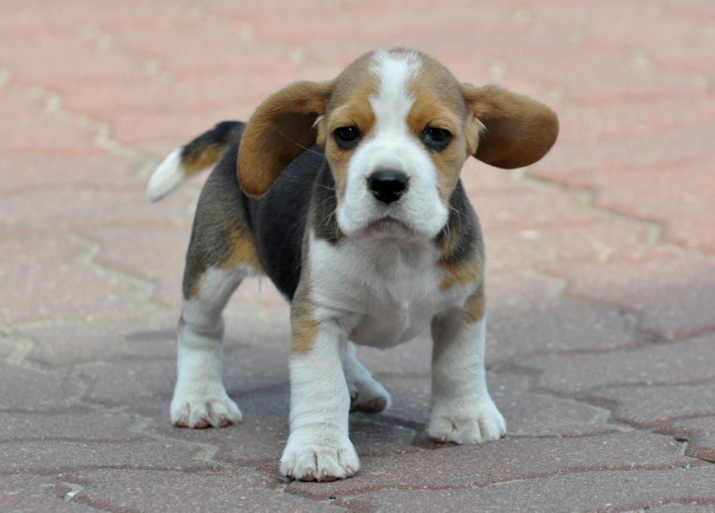 Szczenięta beagle urodzą się w lutym 2018.