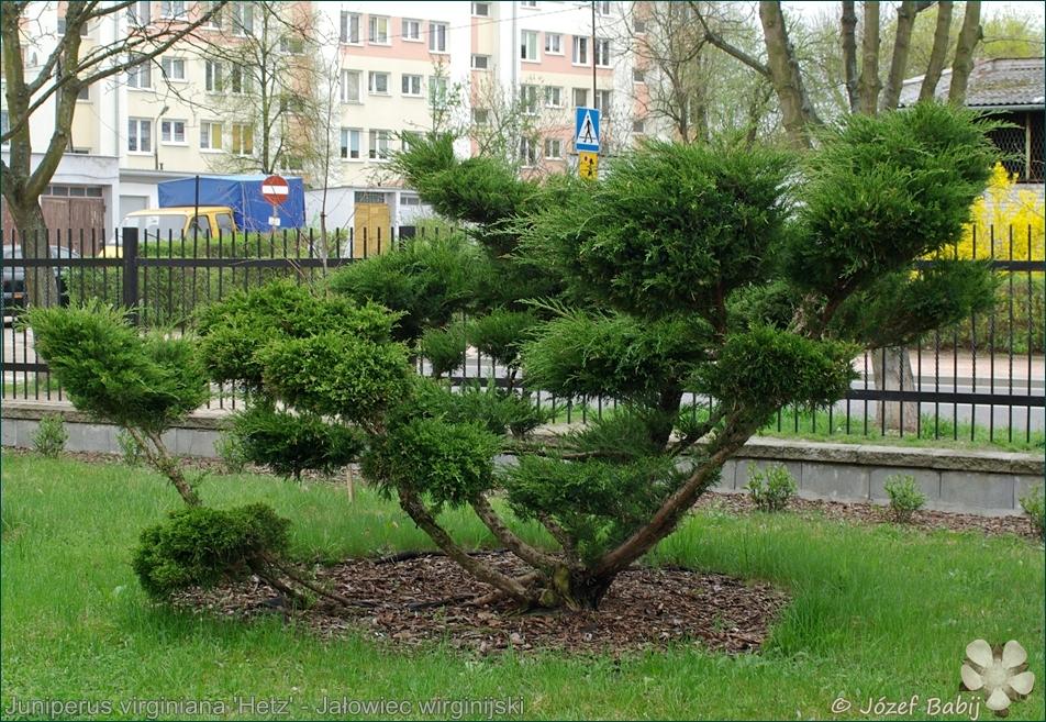 Juniperus virginiana 'Hetz', Juniperus virginiana 'Hetzii'  - Jałowiec wirginijski 'Hetz'