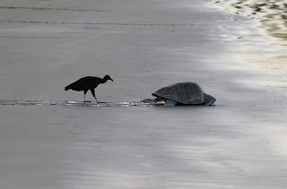 ảnh đẹp hình chim kền kền theo rùa