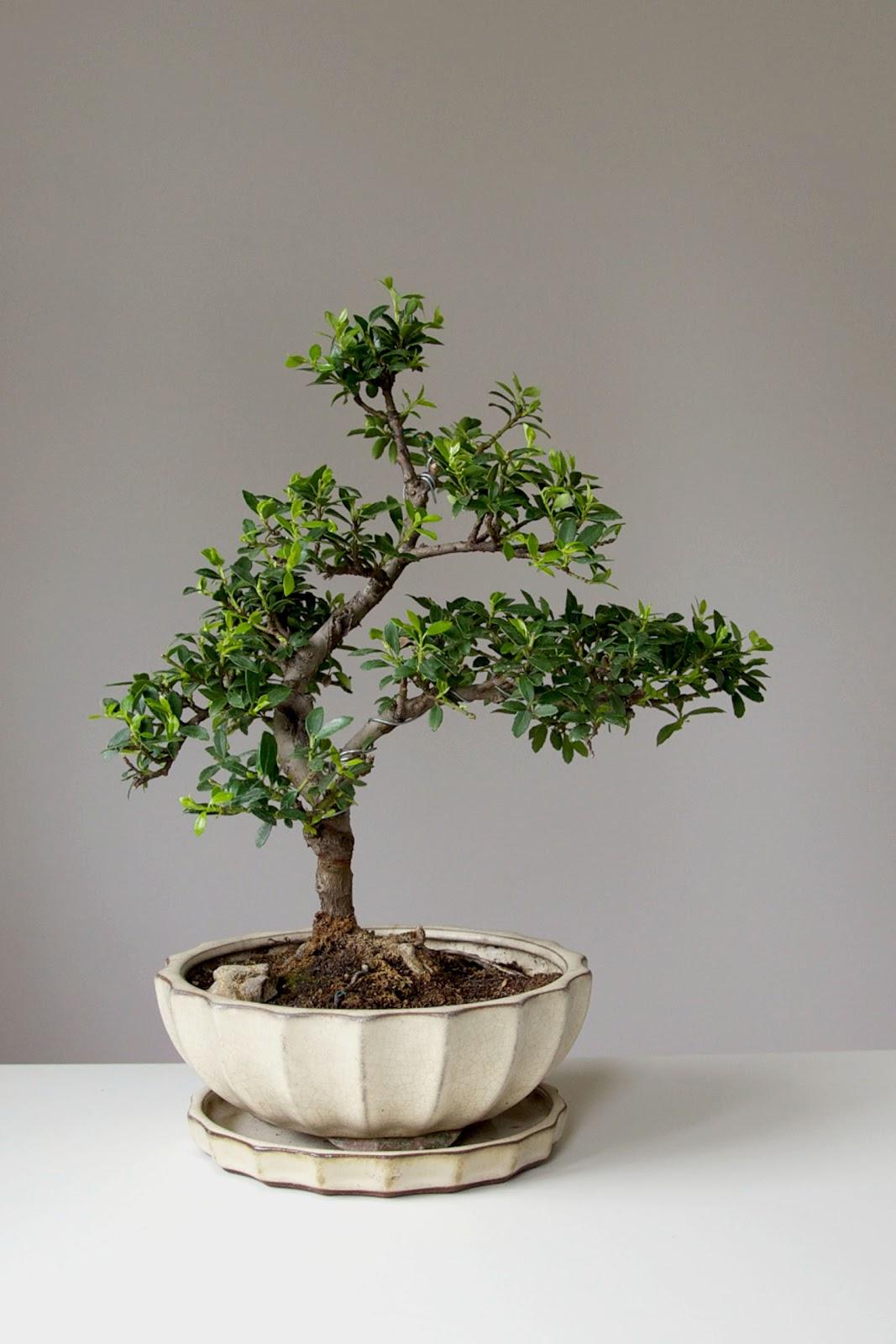 pin bonsai ilex holly on pinterest. Black Bedroom Furniture Sets. Home Design Ideas
