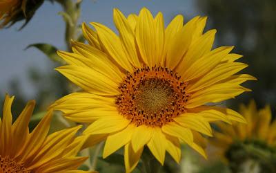Beautiful Sunflower Widescreen Wallpaper 9