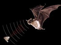 Murciélago cazando una polilla