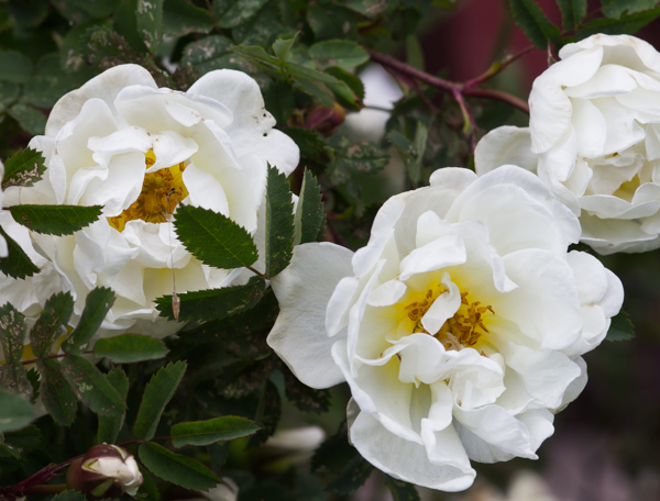 PauMau blogi nelkytplusbloggari nelkytplus puutarha vanha pihapiiri ruusu valkoinen juhannusruusu kukkii rose