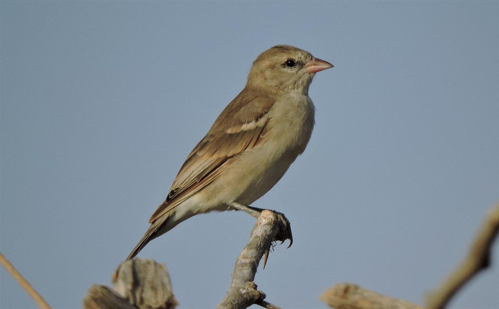 Birding for a Lark: Ye...